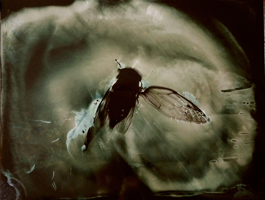 wet plate collodion photogram on aluminium of cicada, 4.25x5.5 in